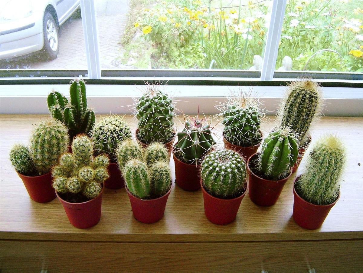 CACTUS PLANTAS NATURALES