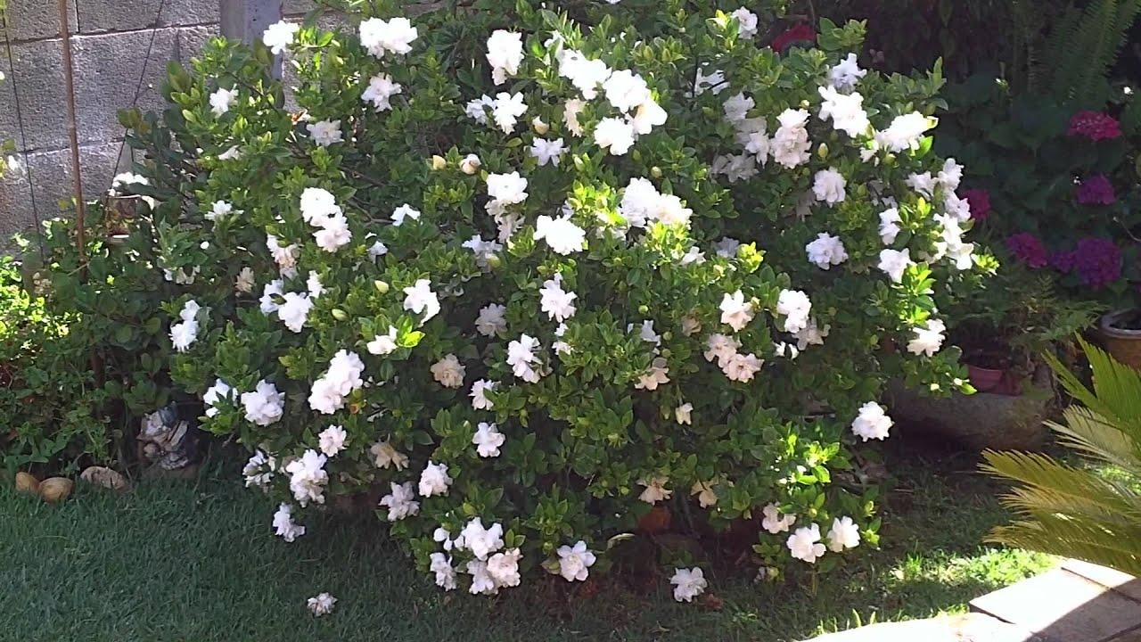GARDENIAS PLANTAS NATURALES